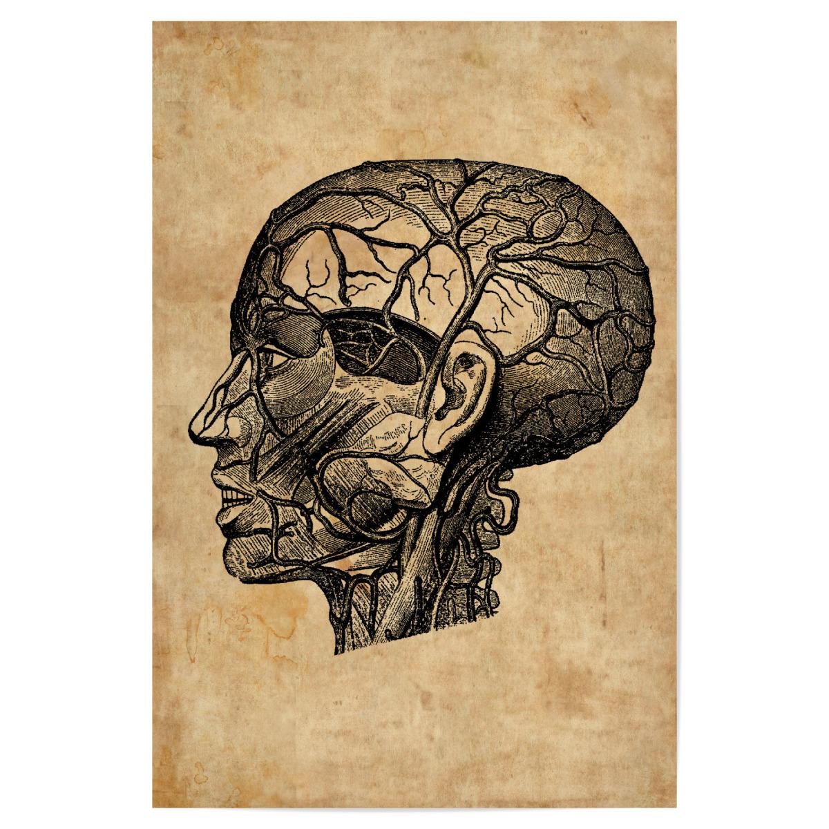 Anatomie des Kopfes als Poster bei artboxONE kaufen