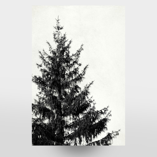 Black And White Pine Tree Left Als Gerahmt Bei Artboxone Kaufen